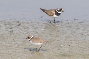Common Ringed Plover (above) with Semipalmated Plover (below)