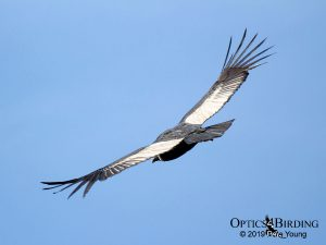Adult Female Andean Condor Soaring Over Colca Canyon