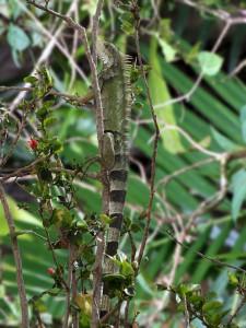 Adult Green Iguana - Puerto Rican Birds
