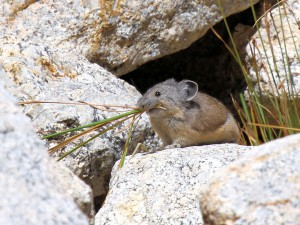 American Pika foraging for food