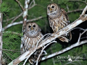 Barred Owls in the Everglades