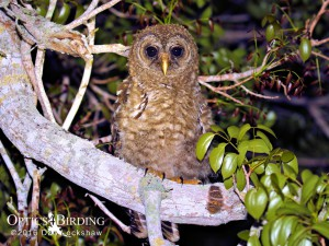 Juvenile Barred Owls in the Everglades