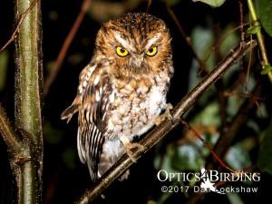 Chiapas owls - Red morph Bearded-Screech-Owl