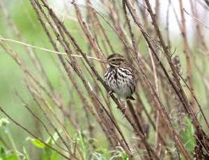 Belding's Savannah Sparrow teed up.