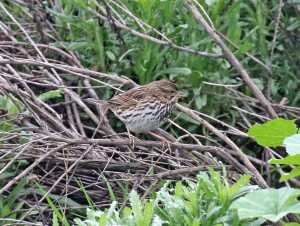 Belding's Savannah Sparrow foraging.