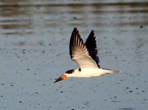 A sub-adult Black Skimmer in flight over the pond.