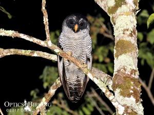 Chiapas owls - Black-and-White Owl