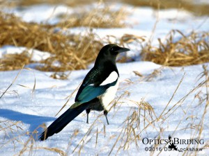 Black-billed Magpie in the snow - Winter Birds of Calgary