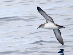 A Black-vented Shearwater coming in to chum behind the boat