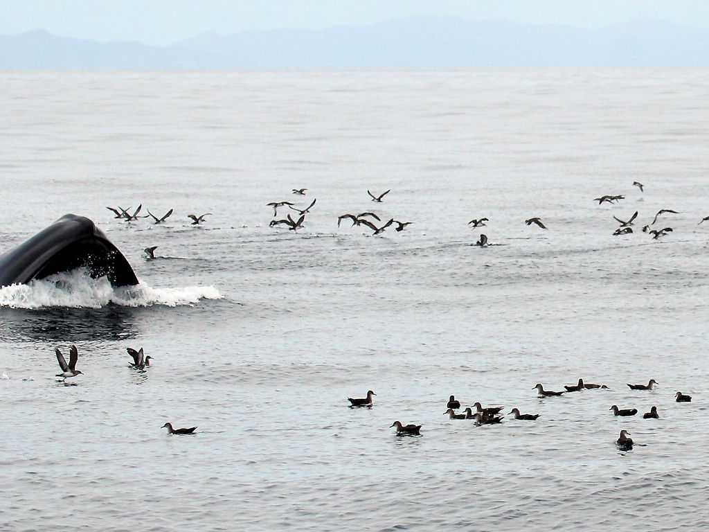 Blue Whale lunge-feeding 1