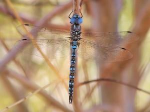 Blue-eyed Darner male 1024