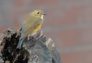 Female Red-flanked Bluetail in Los Angeles