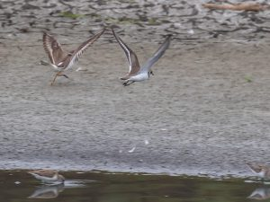 Common Ringed Plover (left) and Semipalmated Plover in flight
