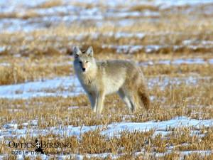 Calgary Coyote
