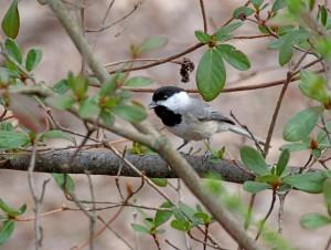 Carolina Chickadee, Montgomery County, Maryland