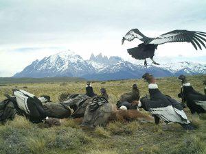 Andean Condor Flock Surrounding Carrion