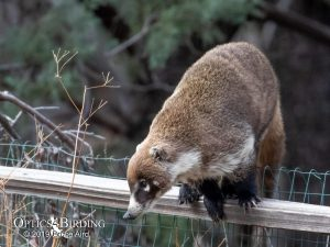 The coati coming over the fence to steal some sugar water