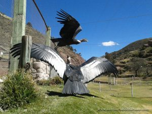 Andean Condor Exhibit at Cochahuasi Animal Sanctuary