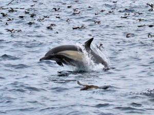 Common Dolphin, Fall Pelagic, 20-SEP-14