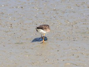 Common Ringed Plover showing reduced foot webbing
