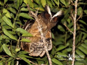 Chiapas owls - Crested-Owl