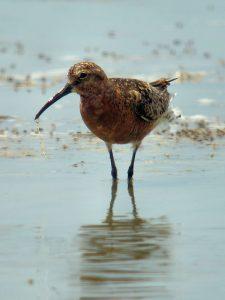 Curlew Sandpiper season of shorebirds