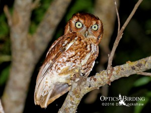 Eastern Screech-Owls in the Everglades