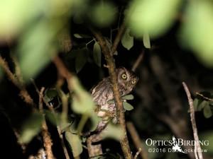 Eastern Screech-Owls in the Keys