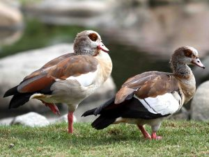 Introduced Species like these Egyptian Geese are very widespread