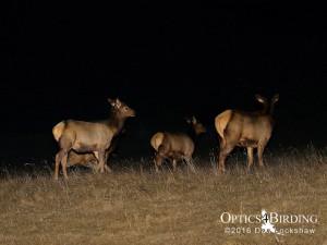 Elk at night - Winter Birds of Calgary