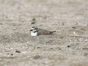 A Western Snowy Plover on its nest
