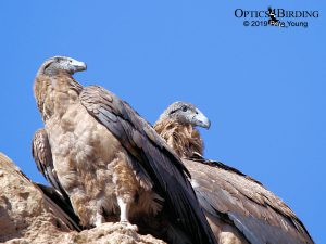 Two Juvenile Female Andean Condors Basking