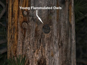 Two young Flammulated Owls in their nest hole