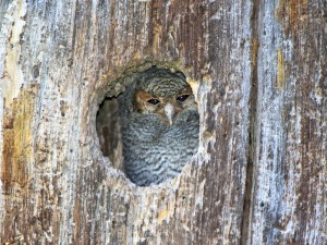 One of the two young Flammulated Owls looking out of his nest hole in the daylight