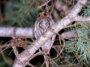 Adult Flammulated Owl in the Sierra Nevada Mountains