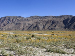 The wildflowers north of Borrego Springs
