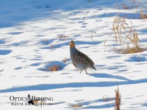 Gray Partridge - Winter Birds of Calgary
