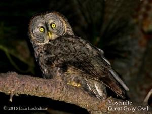 Yosemite owls - Great Gray Owl