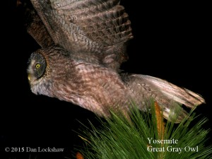 Yosemite owls - Great Gray Owl photo