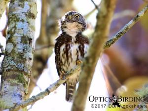 Chiapas owls - Guatemalan-Pygmy-Owl