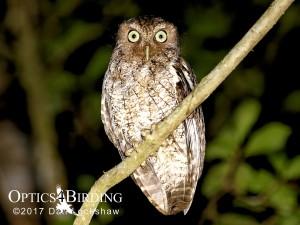 Chiapas owls - Guatemalan-Screech-Owl