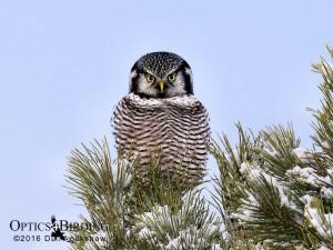 Northern Hawk Owl - Winter Birds of Calgary