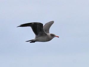 Heermann's Gull, Fall Pelagic, 20-SEP-14