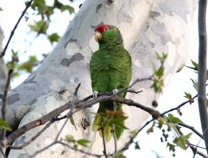 Hybrid Amazon Parrot from Orange County, California