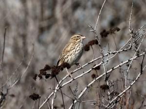 Large-billed Savannah Sparrow teed up.