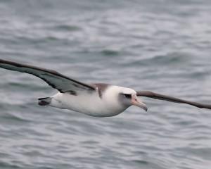 Laysan Albatross in Orange County