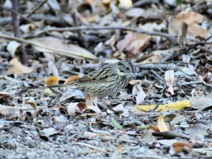 Lincoln's Sparrow under shadow