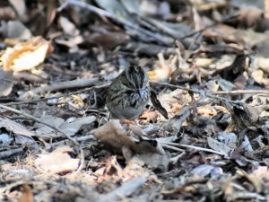 Lincoln's Sparrow showing steaking