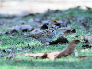 Lincoln's Sparrow with greenish color