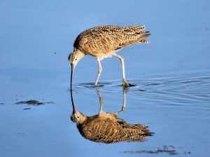 Long-billed Curlew 1024